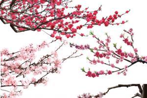 Chia sẻ file hoa đào Tết 2019 png để thiết kế banner Tết