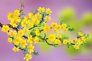 Tải miễn phí bộ vector hoa mai vàng trang trí Tết